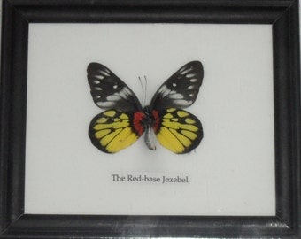 Real BUTTERFLY Collection Taxidermy in Frame / BTF01W1