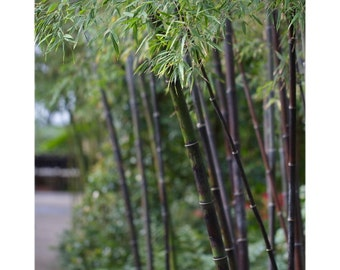 Black Bamboo photo, Japanese decor, Asian botanical print