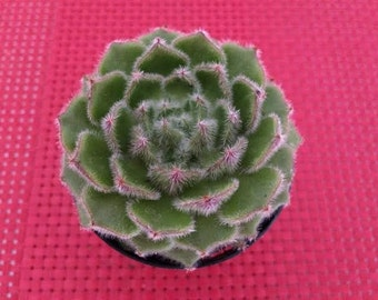Succulent Plant - Wooly Rose