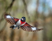 Rose-breasted Grosbeak, birds, photo, nature photography, red and white, black and white, flying (Pheucticus ludovicianus)