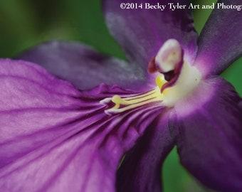 Purple Miltonia Orchid Macro Fine Art Photo Print
