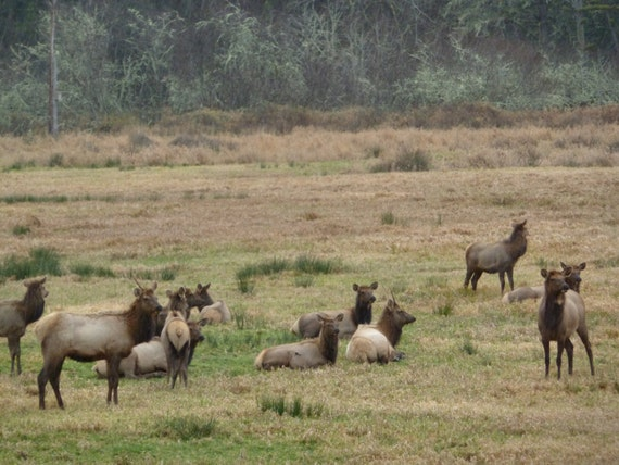 elk herd oregon for the hunter for the animal by hikingtrails. Black Bedroom Furniture Sets. Home Design Ideas