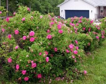 50 Red Rugosa Rose Seeds, Rosa rugosa
