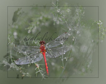 Dragonfly Photograph, Fine Art Photography, Dewdrops, Red Dragonfly Green Foliage, Home or office wall decor, Animal Photography, bug photo