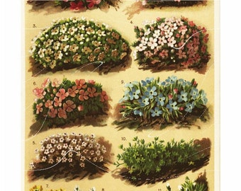 Natural History Print Of Antique Alpen Flowers