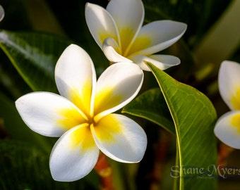 "Beautiful Hawaiian Flower Art Print titled ""Plumeria"" printed on Aluminum Metal or Canvas"