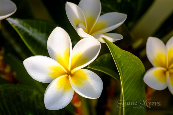 Beautiful Hawaiian Flower Art Print titled