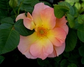 "Morden Sunrise Rose Plant Hardy Parkland Apricot Rose Bush Grown Organic 4"" Container Lovely Apricot Flowers - Own Root Non-GMO"