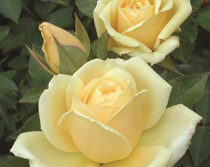 Light of Day Rose Bush Plant Grown Organic Yellow Reblooming Rose Potted Grown Organic - Spring Shipping Own Root