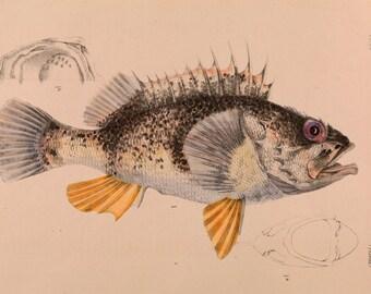 "Arthur Bartolomew : ""Ocean Perch"" (1887) - Giclee Fine Art Print"