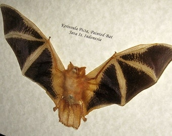 Real Bat Taxidermy Kerivoula Picta Painted Museum Quality In Display