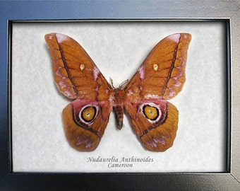 Nudaurelia Anthinoides Real Moth From Africa In Museum Quality Display