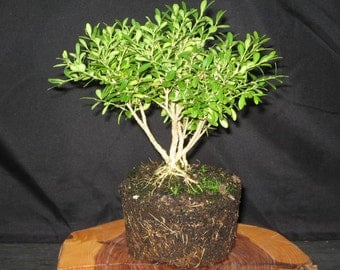 Bonsai starter bonsai tree bonsai plant pillow boxwood