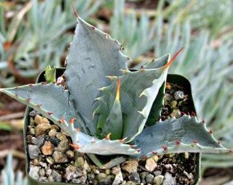 Agave Colorata Succulent Plant