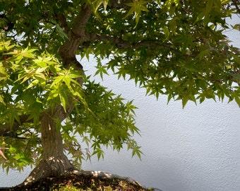 Japanese Maple Bonsai Tree Photograph