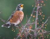 Robin Photo, Size 8x8 inches, Size 10x10 inches, Size 20x20 inches, Bird Photography, Nature Photo