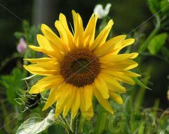Sunflower Note Card.  All occasion, blank inside.
