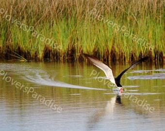 Black Skimmer Shorebird Photo // 5x7 Matted Florida Nature Bird Photograph Print