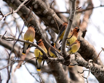 Cedar Waxwings in a Tree Photograph // Pensacola, Florida Bird Picture // Nature Photo