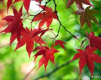 Autumn Maple Leaves, Nature Photography for your home and office.