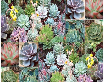 Desert Rose Mix - Echeveria Species Mix - Excellent Indoor House Plants - SUCCULENTS SEEDS - Gorgeous Array Of Colors