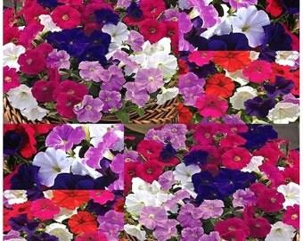 100 x Picobella Mix Series - Mixture PETUNIA SEED - Blue Lavender Rose Carmine - ABUNDANT Small Flowers - Pelleted Seeds