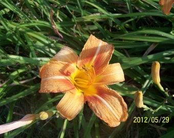 30 Wild Day Lily Bulbs(Hemerocallis Fulva)
