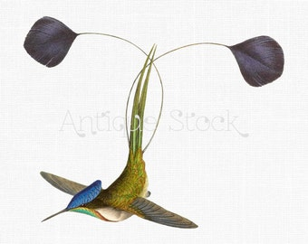 Flying Bird Clip Art 'Marvellous Spatuletail' Hummingbird Vintage Illustration for Printing, Scrapbook, Cards, Collages, Crafts...