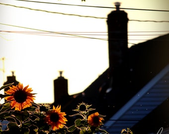 Sunflowers, Nature Photography