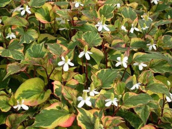 6 variegated chameleon plants marginal shore koi pond bog for Winter pond plants