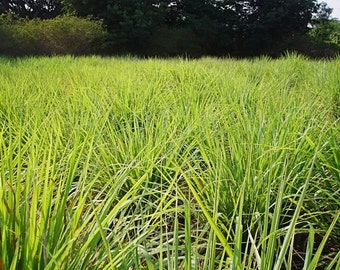 Lemongrass Plant--2 Containers in 4 Inch Size! Also known as Fever Grass, Cymbopogon Citratus