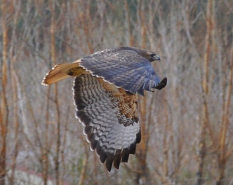 Red Tail Hawk Flying Low