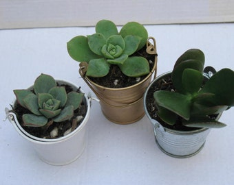 FREE transplanting - ready to go! 50 G/S/W Pails --- INCLUDES 50 Premiere Rosette Succulent. Perfect Gift for Wedding, Shower, Event, Party