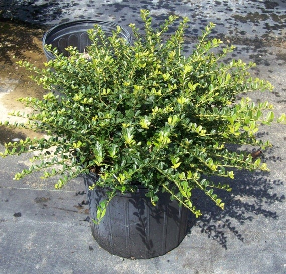 Ilex helleri holly low maintenance deer resistant for Low maintenance border shrubs