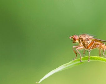 Fly Fine Art photography, insect,nature,macro, image download, Home decor, Printable Downloads, Instant Download, Jpeg.