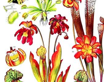 Venus Fly Trap, Sidesaddle Plant - Botanical Print - 1988 Vintage Flower Print
