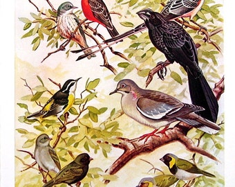 Bird Print - Vermilion Flycatcher, Smooth Billed Ani, White Winged Dove, Bahama Bananaquit - 1954 Book Page - Birds from Florida - 10 x 7