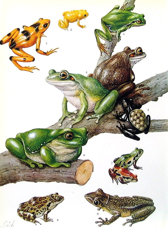 Frog and Toad Print - European Toad, British Toad, Great Plains Toad, Tree Frog, Cuban Tree Frog   2 Sided 1973 Encyclopedia Book Plate