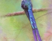 Hummingbird Rainbow_Violet tailed Sylph digital painting 8x10 Print