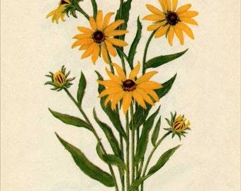 Vintage 1953 Black-eyed Susan, Rudbeckia, Botanical, Floral Print for Framing, American Wildflower