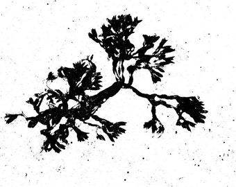 Seaweed Giclee Print Black and White Nautical Coastal Beach Decor