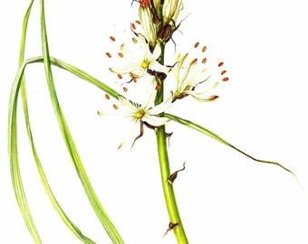 Vintage Flower Print - Botanical Print - Asphodel Plant - Silver Rod Flower - The Language of Flowers - Flower Wall Art - Marilena Pistoia