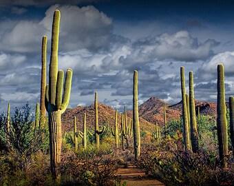 Photograph, Saguaro Cactuses, Saguaro National Park, Tucson Arizona, Panorama, Southwest, Desert, Western Fine Art, Landscape Photography