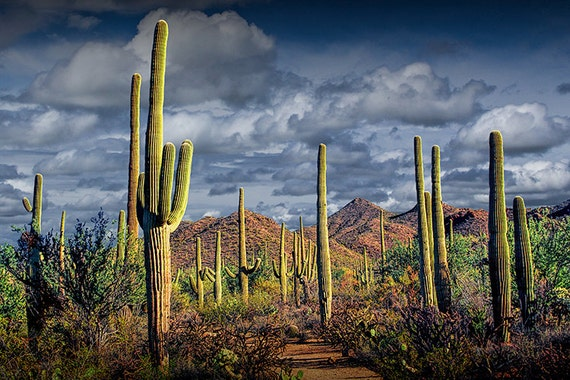 Saguaro Cactuses in Saguaro National Park near Tucson Arizona No.FS234 Southwest Desert Western Color Fine Art Landscape Photography