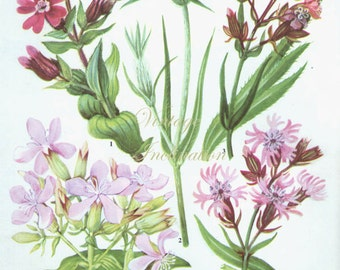 HERBS SOAPWORT Vintage Botanical Print Antique, plant print 107 botanical print, bookplate art print, herb plants plant wall print