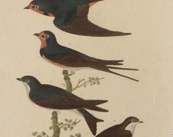 Original Antique Print American Ornithology A.Wilson W.H Lizars Audubon 1832 Engraving 38 1800s Bookplate