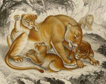 1855 Antique print of a LIONESS with her CUBS. LIONS. Natural History. Zoology. 162 years old rare antique engraving