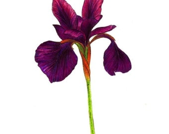 "Purple Iris art print of a drawing available 5x7"" or 8x10"""