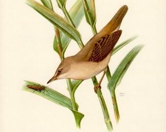 1957 Reed Warbler, Antique Print, Vintage Lithograph, Acrocephalus scirpaceus, Passerine Bird, Rohrspatz, Acrocephalidae, Ornithology