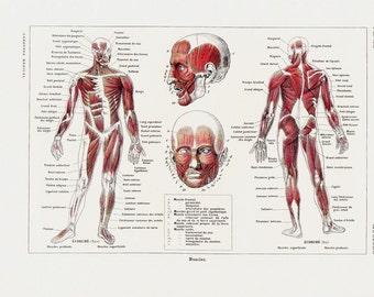 human body print   etsy, Muscles